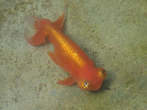 銀魚という金魚がいます