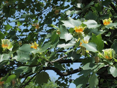なぜチューリップの木なのか