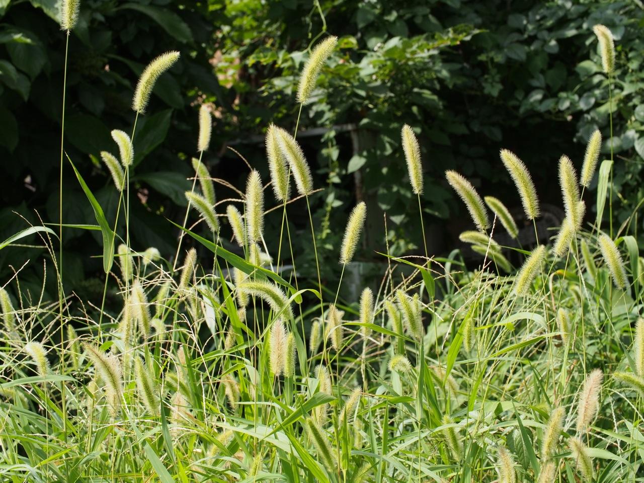 夏の雑草、エノコログサは子犬か猫か