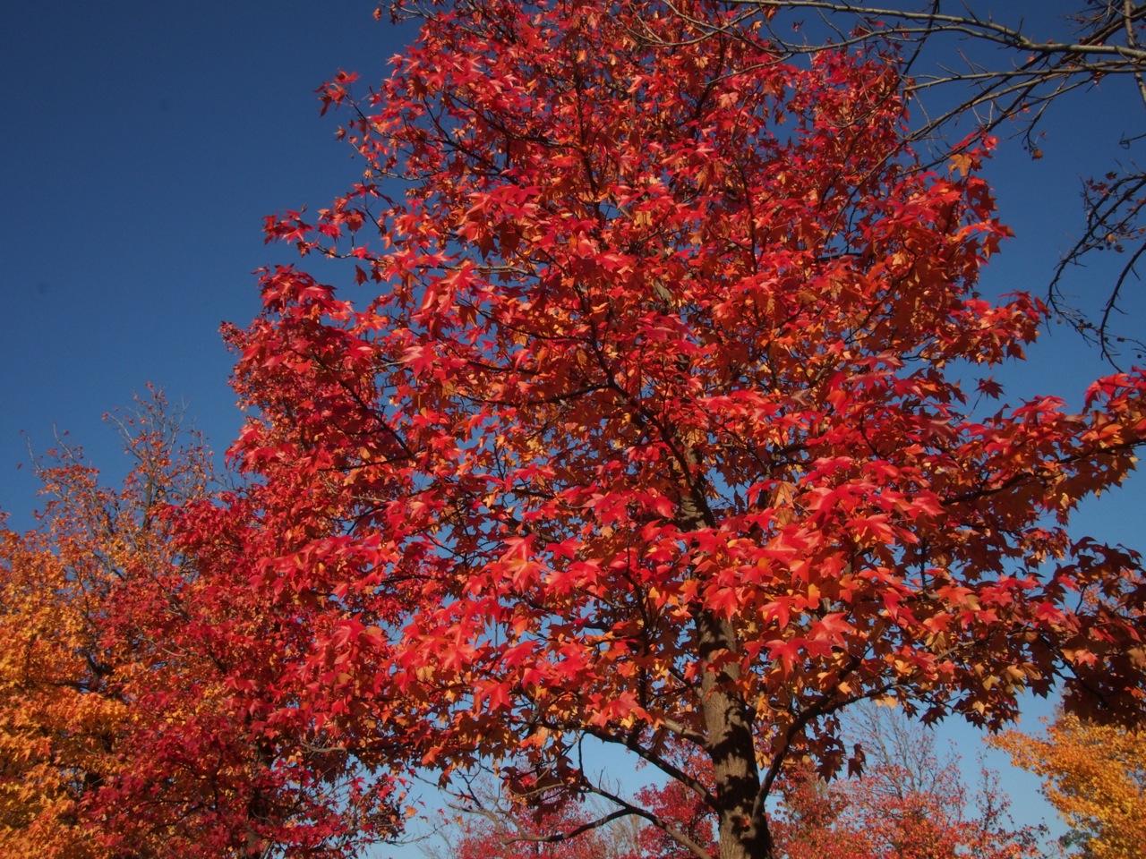 紅葉はモミジバフウが人気という理由
