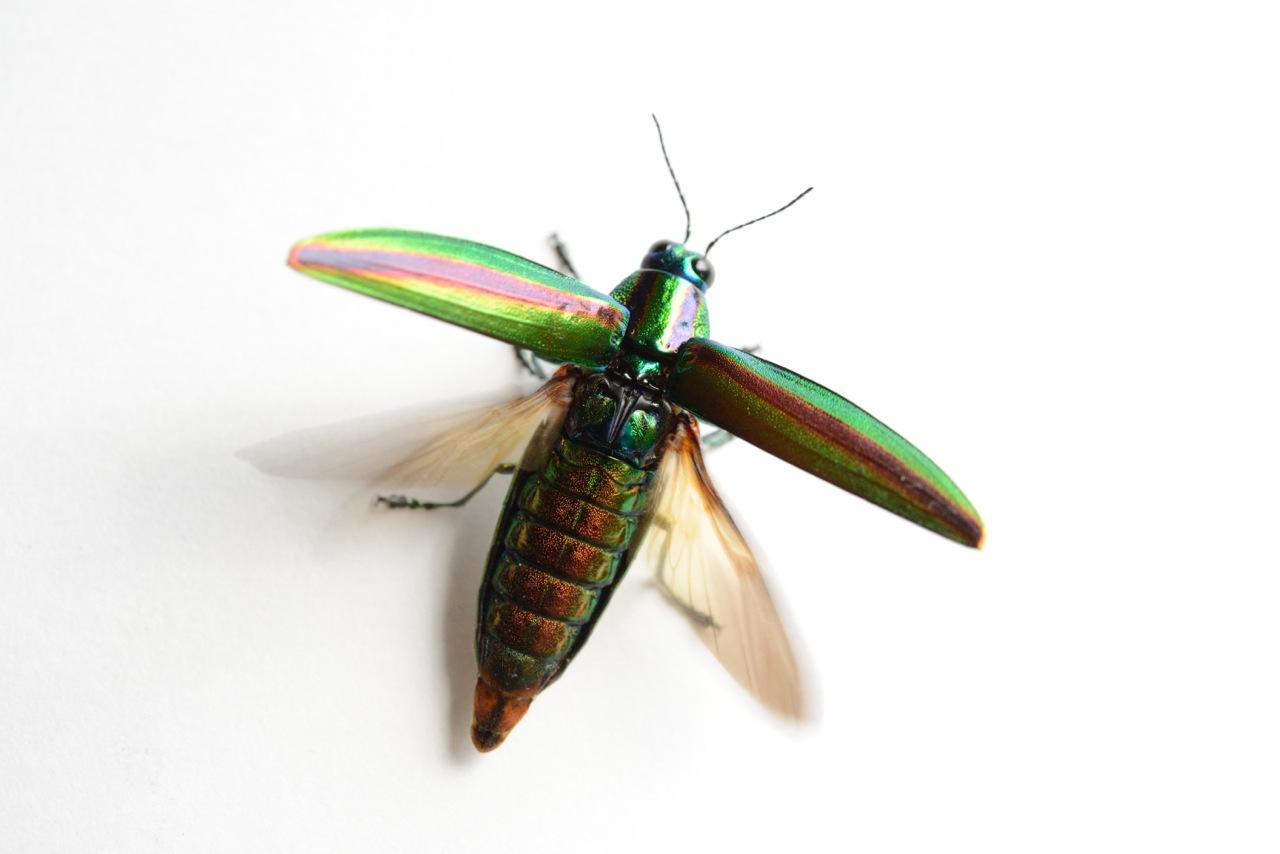 世界初の飛行機は玉虫から