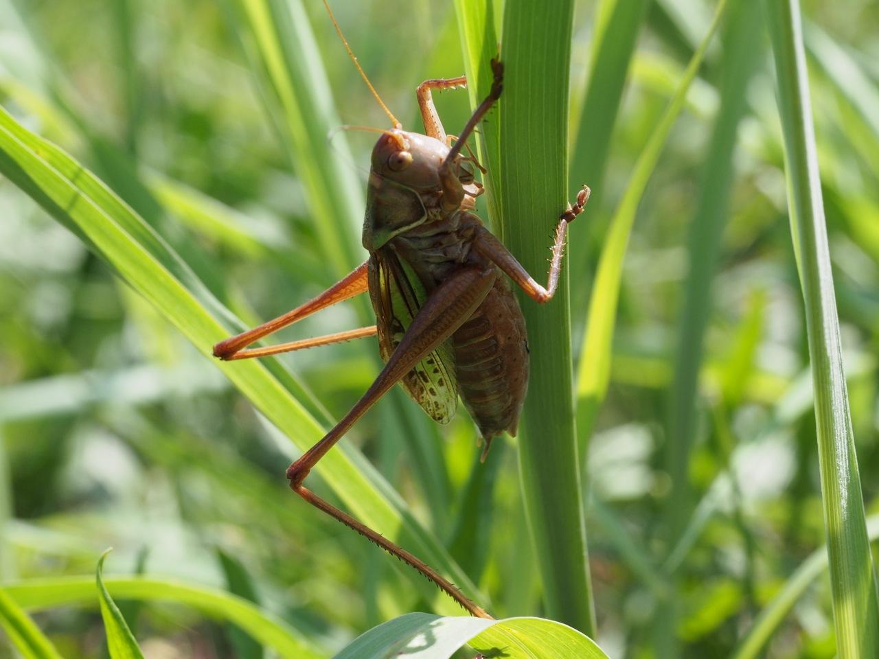 キリギリスは秋の季語ですが夏の虫です