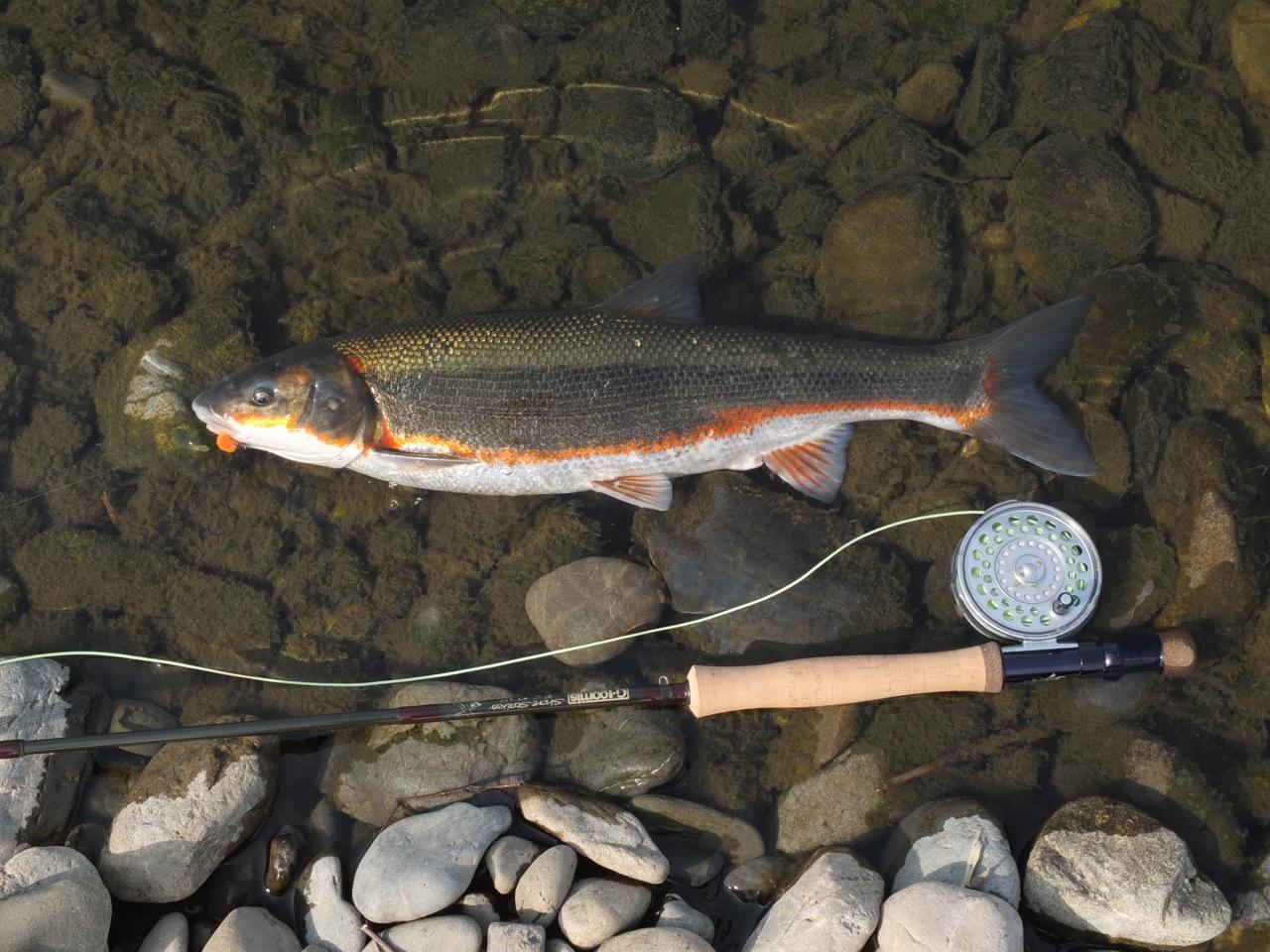 多摩川では魚扁に春と書いてマルタと読みます