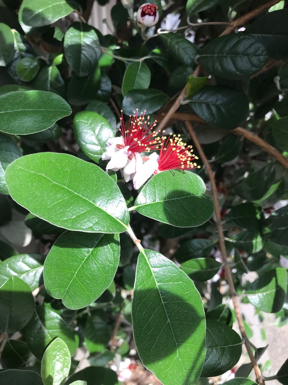 常緑小高木で花・葉・実が楽しめる鉢植え